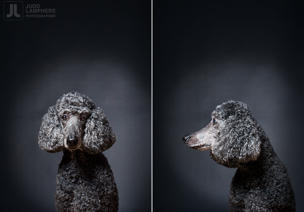 Gina, a 13 year old poodle, sits for her portrait in this photography series of Old dogs, by Judd Lamphere