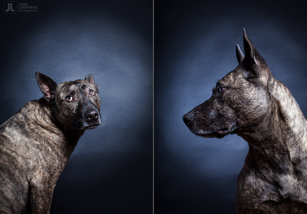 Hera, a 9 year old mutt, sits for her portrait in this photography series of Old dogs, by Judd Lamphere