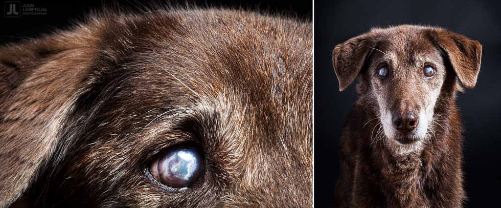 Kayla, a 17 year old husky/retriever, sits for her portrait in this photography series of Old dogs, by Judd Lamphere